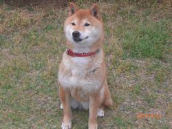 滋賀県 大津市坂本 T・H様/マルちゃん 犬種:柴犬